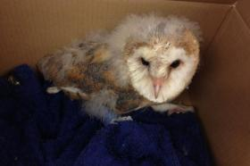 Baby barn owl came in to have his dressing changed